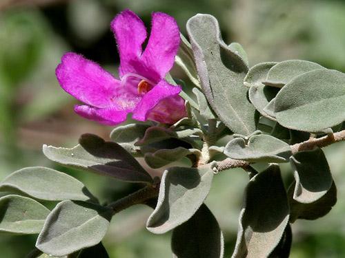 Leucophyllum