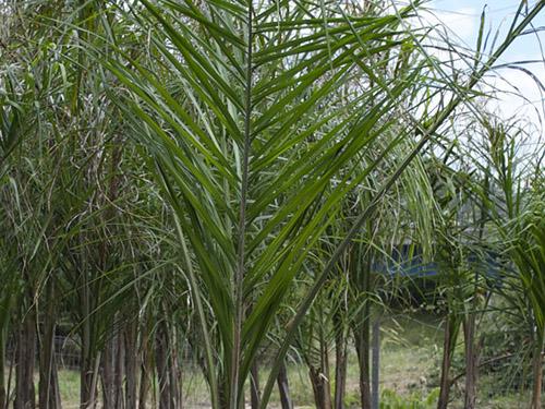Arecastrum - Cocos Plumosus