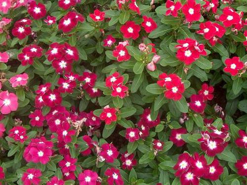 Vinca/Catharanthus