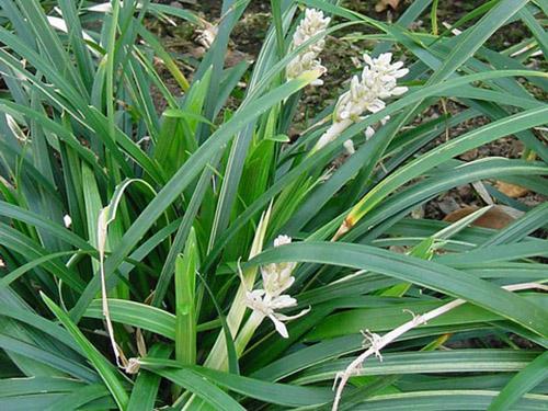 Ophiopogon - Convallaria