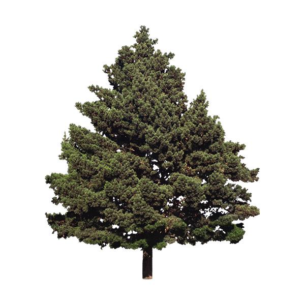 Conifere
