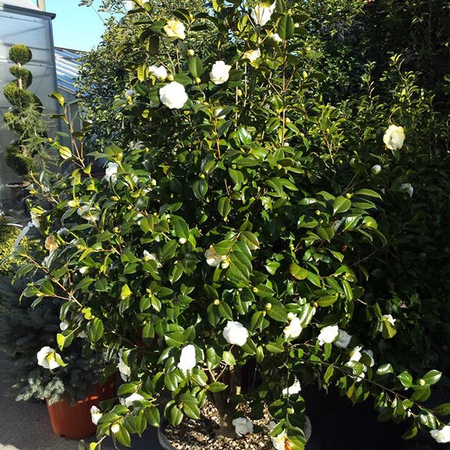 Camellia japonica la pianta del mese di gennaio for Pianta camelia