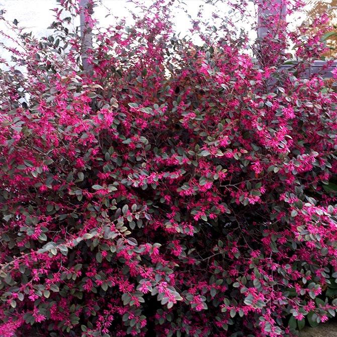 Loropetalum fiori