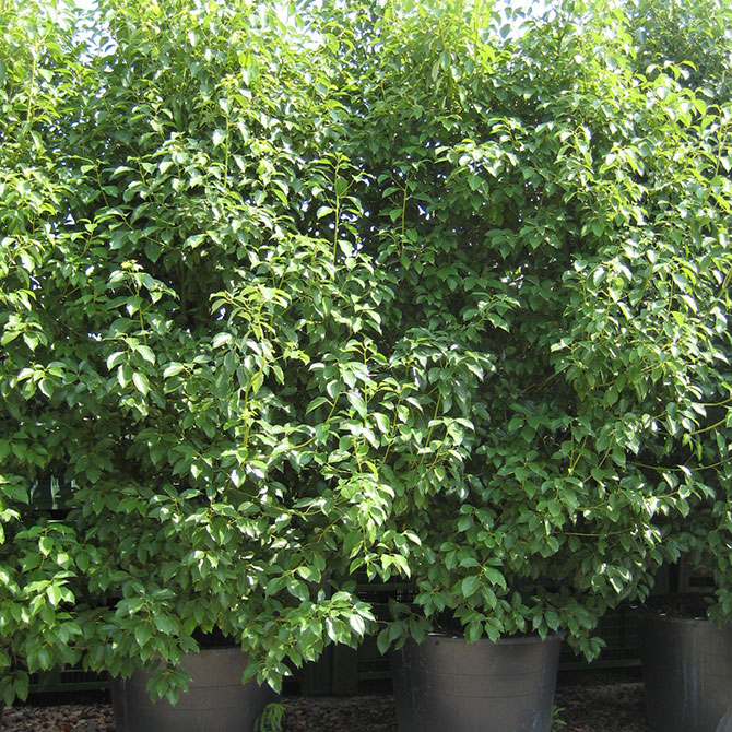 Cinnamomum camphora -  Canfora