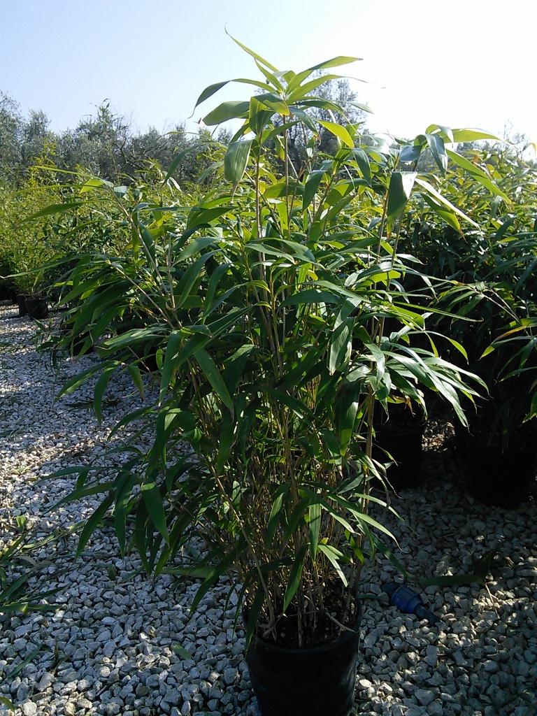 Bamb phyllostachys pseudosasa japonica vivai imperatore for Pianta bambu prezzo
