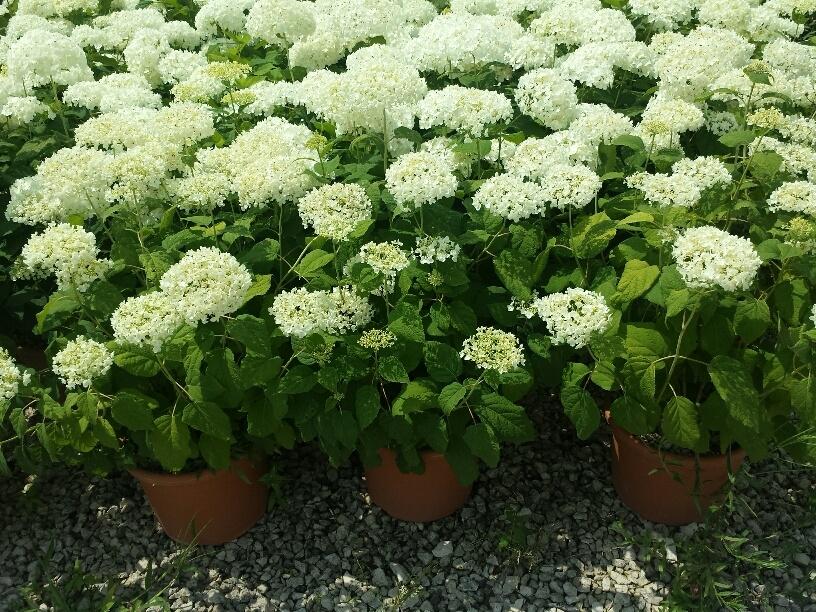 Ortensia hydrangea arborescens annabelle vivai imperatore for Progress caserta prodotti