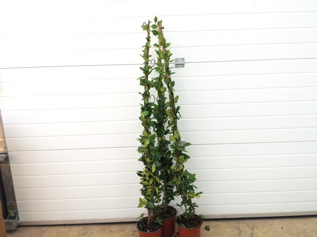 Falso gelsomino trachelospermum jasminoides vivai imperatore for Falso gelsomino in vaso