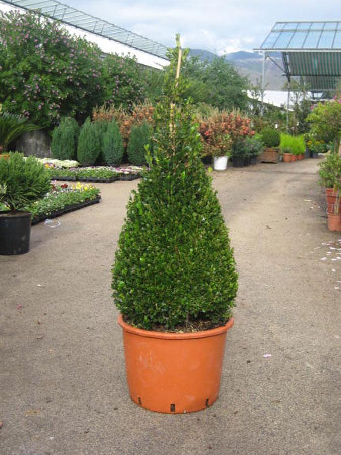 Bosso buxus macrophylla faulkner rotundifolia vivai for Bosso in vaso