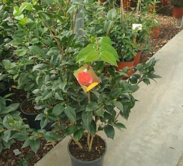 Camelia camellia japonica vivai imperatore for Camelie in vaso