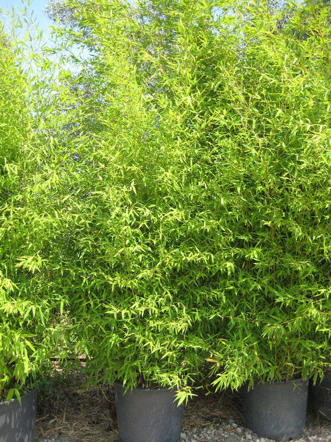 Bamb phyllostachys aurea vivai imperatore for Bambu in vaso prezzo