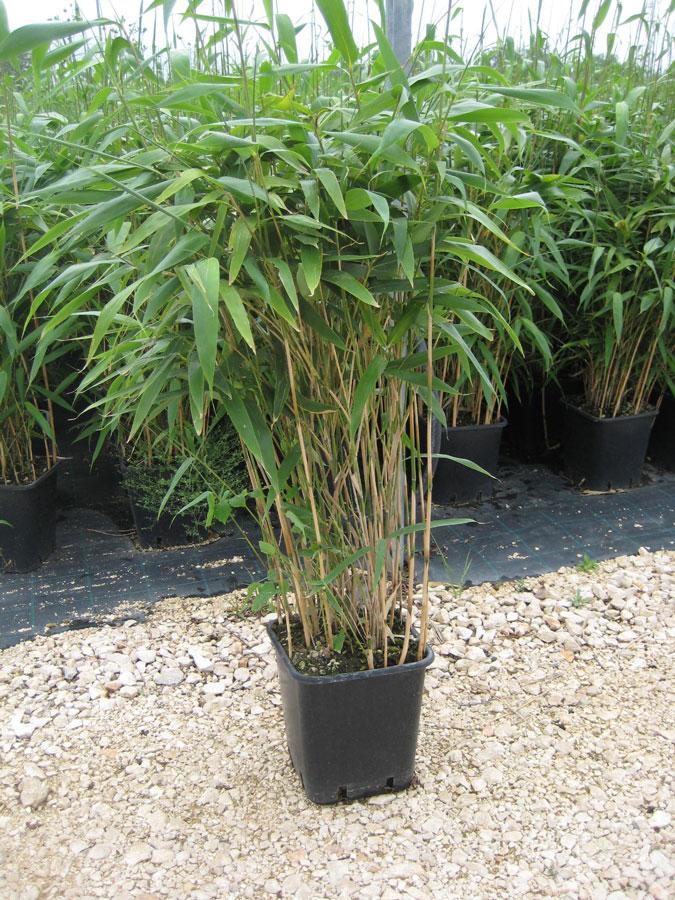 Bamb phyllostachys pseudosasa japonica vivai imperatore for Bambu in vaso prezzo