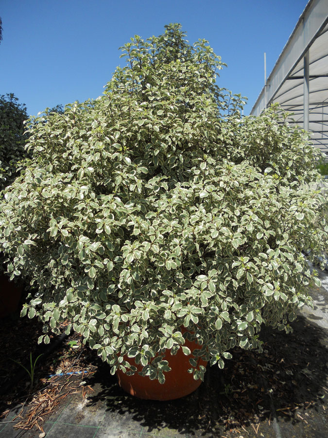 Pittosporum Tenuifolium Silver Queen