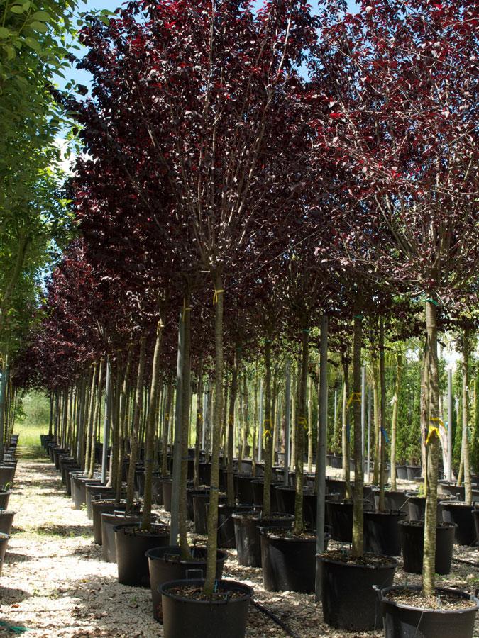 Prunus pissardi prunus cerasifera pissardii vivai imperatore for Progress caserta prodotti