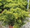 Juniperis Chinensis Pfitzeriana Old Gold