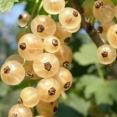 Ribes Rubrum Witte Hollander
