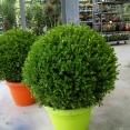 BUXUS Macrophylla Faulkner 50/60
