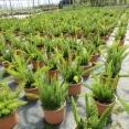Asparagus Densiflorus Mayeri