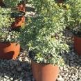Tenuifolium Silver Queen V.19 01.2016
