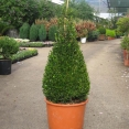 Buxus Macrophylla Faulkner