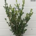 Macrophylla Faulkner Rotundifolia v.15 08.2016