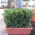 Macrophylla Faulk. Rot. MB55 09.2016