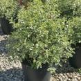 Tenuifolium Silver Queen v.24 04.2017