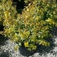 Grandiflora Kaleidoskope