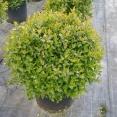 Grandiflora V.35 APRILE 2019