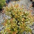 Abelia Grandiflora Kaleidoskope