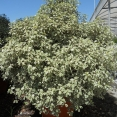 Pittosporum Tenuifolium Silver Queen